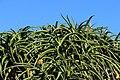 Aloe bainesii, Victoria Esplanade Park (7).jpg