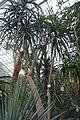 Aloe bainesii - Botanischer Garten - Heidelberg, Germany - DSC01374.jpg