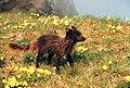 Alopex lagopus summer coat.jpg