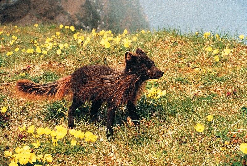 Arctic Fox summer coat by A. Sowls