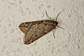 Alsophila aescularia (32402268604).jpg