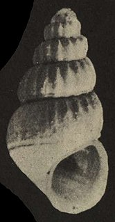 Rissoidae family of molluscs
