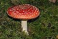 Amanita muscaria (29791638570).jpg