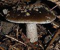 Amanita nothofagi 34865.jpg