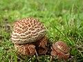 Amanita rubescens (29989346001).jpg