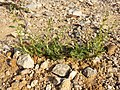 Amaranthus albus sl35.jpg