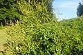 Ambrosia trifida kz06.jpg