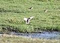 American Golden-Plover (adult), Caledonia Sewage Ponds, 3 September 2013 (9669782156).jpg