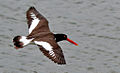American Oystercatcher (Haematopus palliatus) in flight.jpg