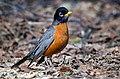 American Robin in Canada.jpg