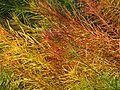 Amsonia hubrichtii autumn foliage - Flickr - peganum.jpg