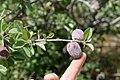 Amygdalus bucharica (Rosaceae) (33019610952).jpg