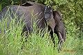 An Elephant in Northern Ghana.jpg