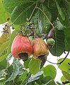 Anacardium occidentale-- Cashew apple and nut (30853573405).jpg