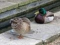 Anas platyrhynchos mallard pair in Victoria Embankment Gardens 02.jpg