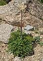 Anemone alpina kz01.jpg