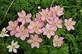 Anemone fasciculata, Հողմածաղիկ, Ветренница пучковая - panoramio.jpg