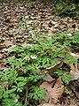 Anemone flaccida2.jpg