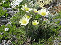 Anemone occidentalis – white pasqueflower (1).jpg