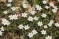 Anemones - kvitveis - hvitveis - 4.JPG
