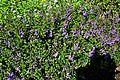 Angelonia angustifolia 'Wedgewood Blue' in Jardin des Plantes de Toulouse 02.jpg