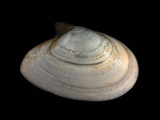 <i>Fabulina fabula</i> species of mollusc