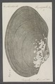Anodonta trapezialis - - Print - Iconographia Zoologica - Special Collections University of Amsterdam - UBAINV0274 076 10 0010.tif