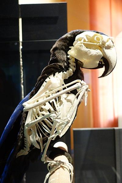 File:Anodorhynchus hyacinthinus skeleton Berlin 40.jpg