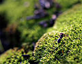 Ant on mosshill02.jpg