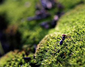 Ant on mosshill02.jpg