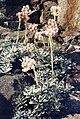 Antennaria dioica var borealis 1.jpg