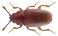 Antherophagus similis (Curtis, 1835).png