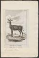 Antilope euchore - 1787 - Print - Iconographia Zoologica - Special Collections University of Amsterdam - UBA01 IZ21400093.tif