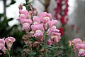 Antirrhinum majus Maryland True Pink 0zz.jpg