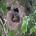 Aotus trivirgatus - Flickr - Dick Culbert.jpg