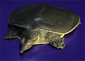 Dornrand-Weichschildkröte (Apalone spinifera)