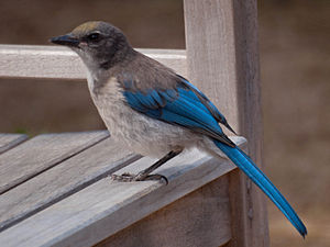 California scrub jay - Juvenile in California, USA