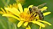 Apis mellifera - Senecio paludosus - Keila.jpg