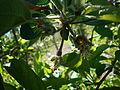 Appleafterflower.jpg
