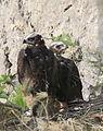 Aquila fasciata1.jpg