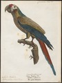 Ara ambiguus - 1842-1855 - Print - Iconographia Zoologica - Special Collections University of Amsterdam - UBA01 IZ18500107.tif