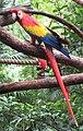 Ara macao -Disney Animal Kingdom, Orlando, Florida, USA-8a.jpg