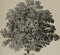 Arboretum et fruticetum britannicum, or - The trees and shrubs of Britain, native and foreign, hardy and half-hardy, pictorially and botanically delineated, and scientifically and popularly described (14597535877).jpg
