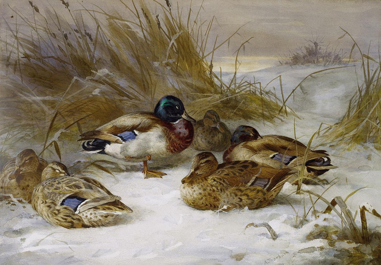 Archibald Thorburn Winter landscape with mallard.jpg