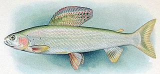 <i>Thymallus</i> genus of fishes