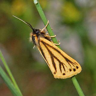 <i>Setina aurita</i> species of insect