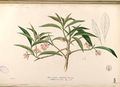 Ardisia sp Blanco2.439-original.png