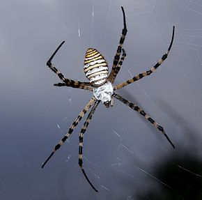Description de l'image Argiope trifasciata.JPG.