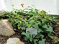 Aristolochia labiata - Copenhagen Botanical Garden - DSC07971.JPG