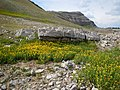 Arnica longifolia (29135004531).jpg